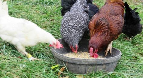 fs-chickens-myphoto