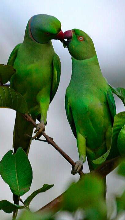 Rose-ringed Parakeet by Vijaykumar Thondaman - La Paz Group