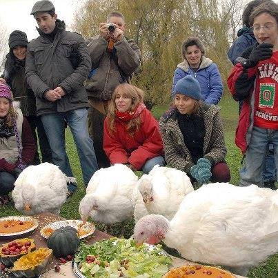turkeys-eating-a-special-spread-in-their-honor